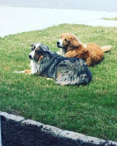Green, grassy background. Two dogs lie side by side. The closer dog is a tri-color (black, white, tan) Australian Shepherd. The far dog is a copper and white Golden Retriever mix. Both dogs look toward the camera.